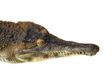 Crocodille Stock Photos