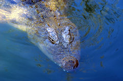 Crocodilo 01 Fotografia de Stock Royalty Free