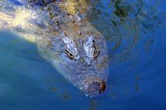 Crocodilo 01 fotografia de stock royalty free