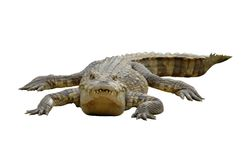 Crocodilo Foto de Stock