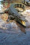 Crocodilo Foto de Stock