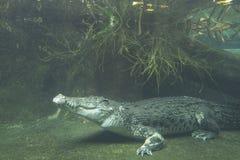 Crocodilo imagem de stock