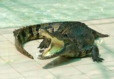 Crocodilo Imagens de Stock