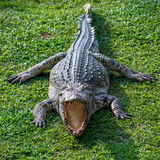 Crocodilo Imagem de Stock Royalty Free