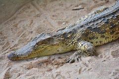 crocodilo Fotos de Stock