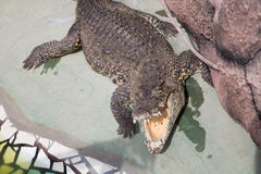 crocodilo imagens de stock royalty free
