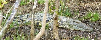 crocodilo foto de stock royalty free