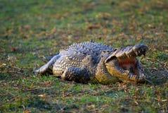 Crocodilo africano 3 Imagem de Stock Royalty Free