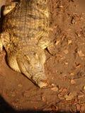 Crocodilo africano Imagens de Stock