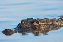 Crocodilo americano Foto de Stock Royalty Free