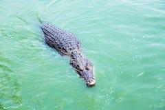 Crocodilo americano (acutus do Crocodylus) em um lago Fotografia de Stock Royalty Free