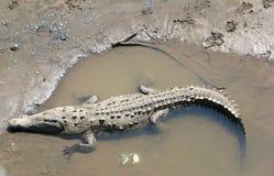 Crocodilo americano cheio Fotografia de Stock Royalty Free