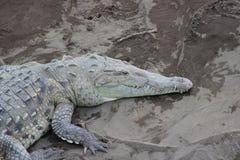 Crocodilo americano, Costa Rica imagem de stock royalty free
