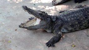 Crocodilo com boca aberta vídeos de arquivo
