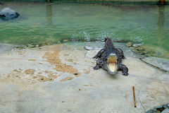 Crocodilo com boca aberta Fotografia de Stock