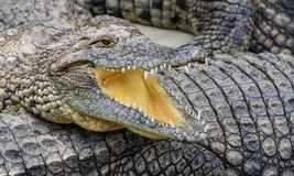 Crocodilo com boca aberta fotos de stock