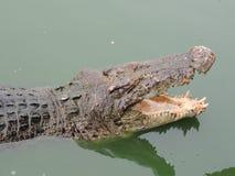 Crocodilo com a boca aberta no close-up da água Imagens de Stock