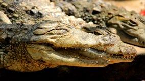 Crocodilo com a boca largamente aberta imagens de stock