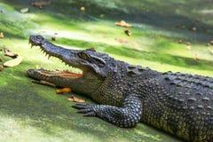 Crocodilo com uma boca aberta Foto de Stock