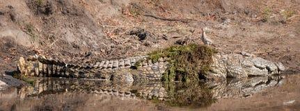 Crocodilo (Crocodilia) Imagem de Stock