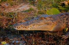 Crocodilo da água de sal Fotografia de Stock Royalty Free