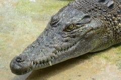 Crocodilo da água de sal Fotos de Stock Royalty Free