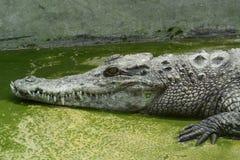 Crocodilo da água de sal Fotografia de Stock