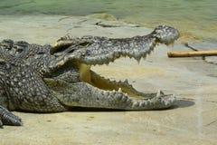 Crocodilo da água de sal Foto de Stock