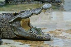 Crocodilo da água de sal Imagem de Stock Royalty Free