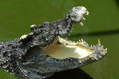 Crocodilo da água de sal Fotos de Stock