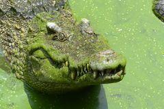 Crocodilo da água de sal Imagem de Stock