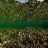 Crocodilo da água de sal Foto de Stock Royalty Free