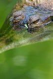 Crocodilo da água fresca Imagem de Stock