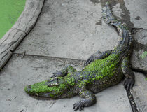 Crocodilo da água fresca vivo na terra na exploração agrícola do crocodilo Imagens de Stock