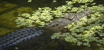 Crocodilo da água salgada Fotografia de Stock Royalty Free