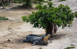 Crocodilo da água salgada em Tailândia Fotos de Stock