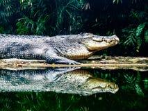 Crocodilo da água salgada na borda da água foto de stock