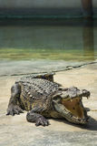 Crocodilo da água salgada na lagoa Foto de Stock