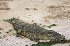 Crocodilo da água salgada na lagoa Fotografia de Stock Royalty Free