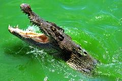 crocodilo da natação Fotos de Stock Royalty Free