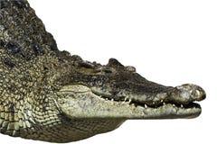 Crocodilo de água doce. Imagens de Stock Royalty Free