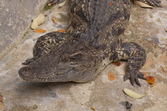 Crocodilo de água doce Siamese Imagem de Stock Royalty Free
