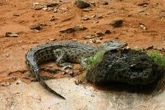 Crocodilo de Caiman Foto de Stock Royalty Free