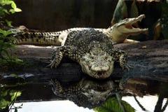 Crocodilo de Cuba Fotografia de Stock Royalty Free