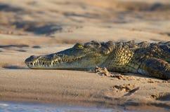 Crocodilo de descanso de nile Imagens de Stock