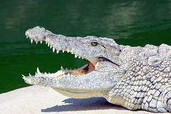 Crocodilo de encontro Imagem de Stock