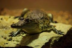 Crocodilo de Morelet (moreletii do Crocodylus) Fotografia de Stock