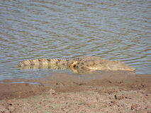 Crocodilo de Nile Fotografia de Stock