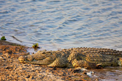 Crocodilo de Nile Fotografia de Stock Royalty Free