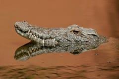 Crocodilo de Nile Fotos de Stock Royalty Free